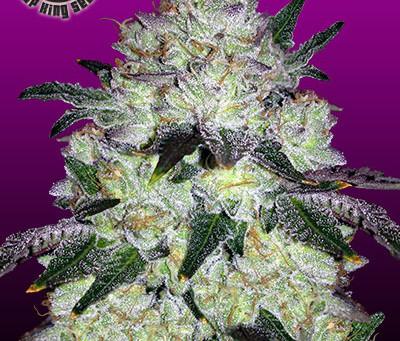 Purple Space Cookies Seeds | Purple Space Cookies Marijuana Seeds for sale