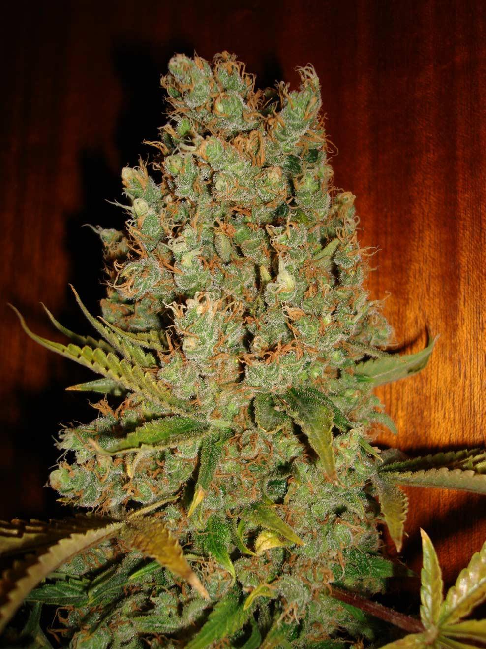 jack flash marijuana seeds for sale