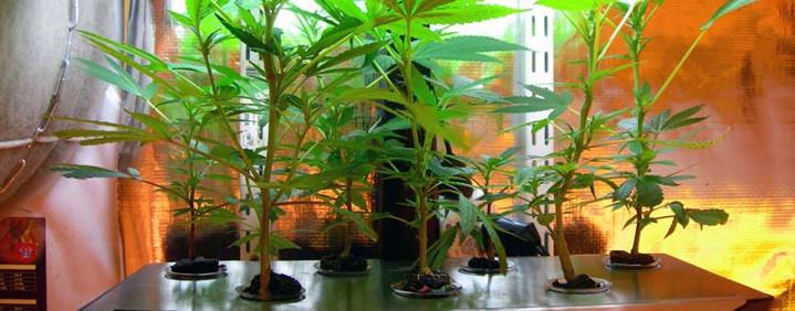 why should you grow marijuana