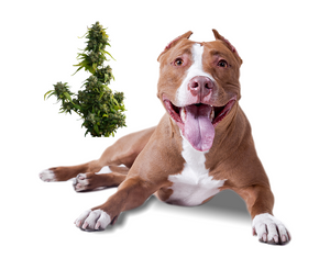 Benefits of medical marijuana for pets