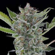 white widow marijuana seeds for sale