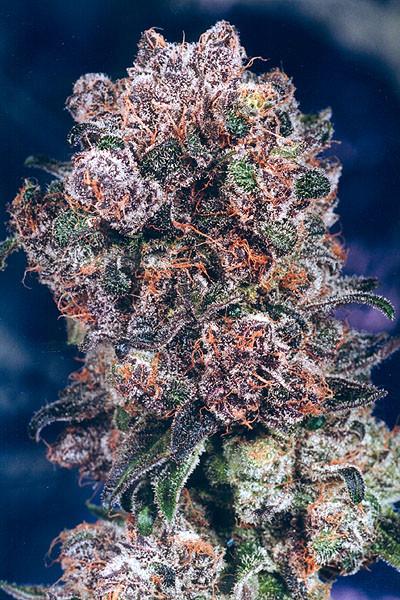 Blueberry Marijuana seeds for sale