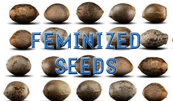 how to tell female cannabis seeds