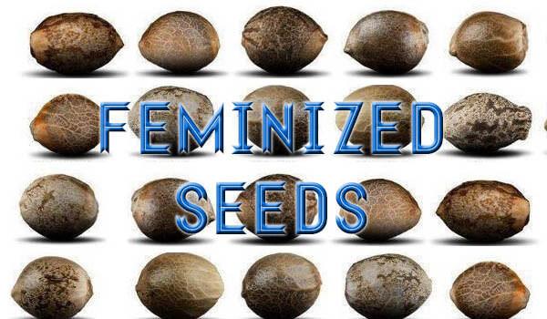 Marijuana Seed Banks