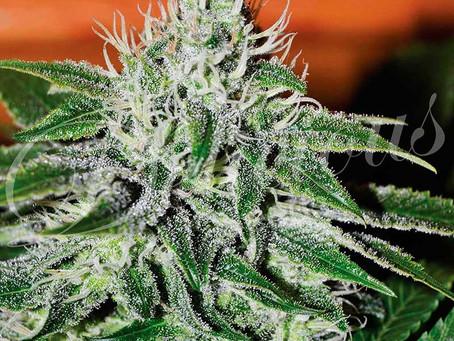 Jack Herer Marijuana Seeds | Jack Herer Seeds for Sale