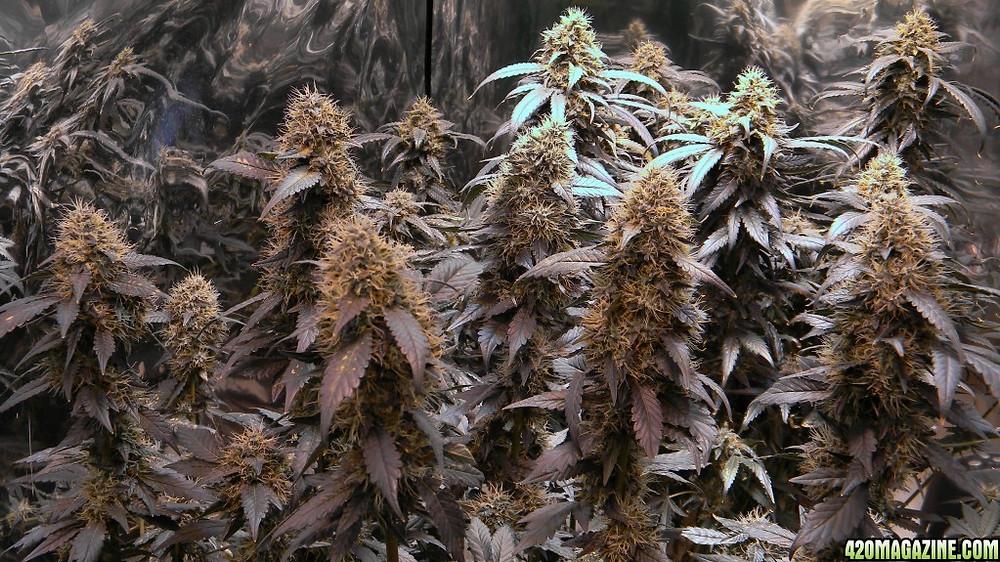 Tahoe OG Kushs seeds for sale