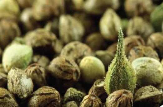 Medical marijuana seeds USA