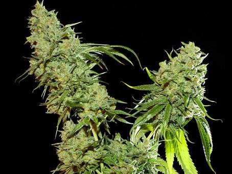 Cannatonic Seeds for Sale | Cannatonic Marijuana Seeds