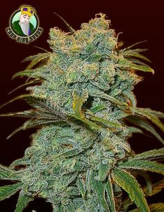 Tropic Thunder seeds for sale