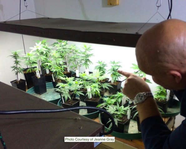 CBD Marijuana Plants growing