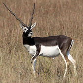 Blackbuck1.jpg