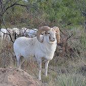 Big Horn Snow Urial1.JPG