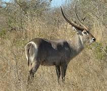 Waterbuck1.jpeg