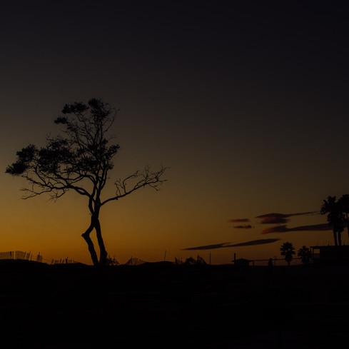 A Carpinteria Tree Silohette