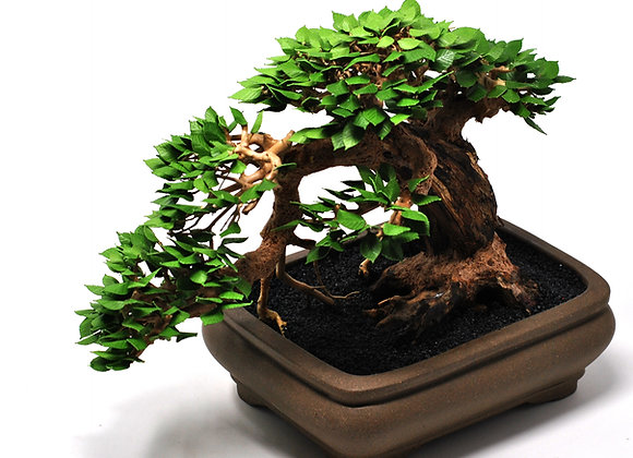 Cascading Chinese Elm II Bonsai