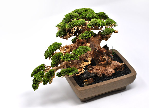 Japanese Semi Cascade Style White Pine Bonsai