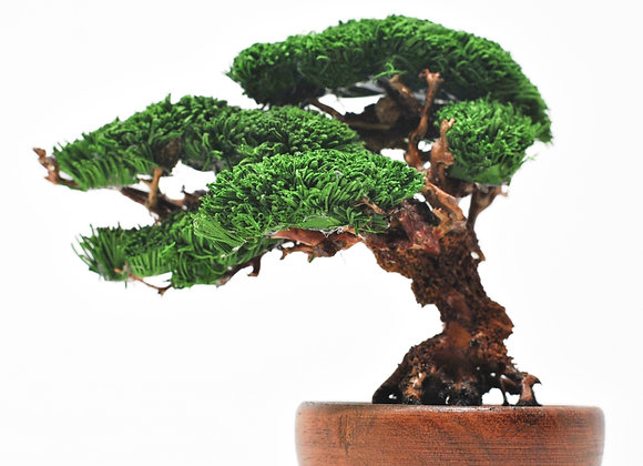 """Shohin"" Juniper Bonsai Tree"