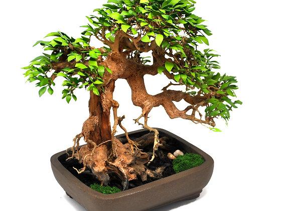Chinese Elm Informal Upright Bonsai Tree