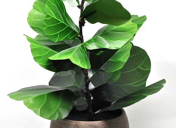 Fiddle Leaf Fig Display