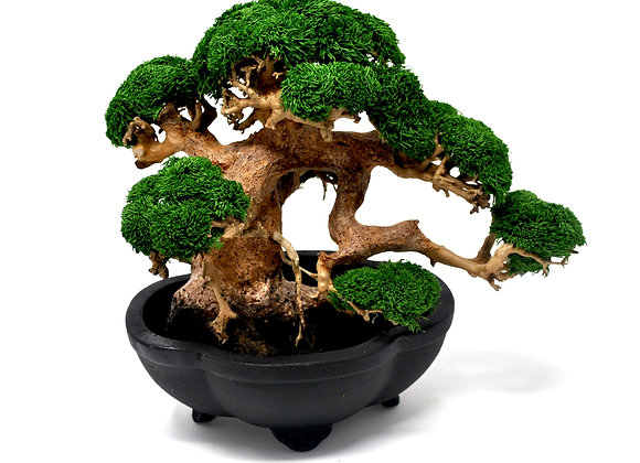 Juniper Semi-Cascade Style Bonsai Tree