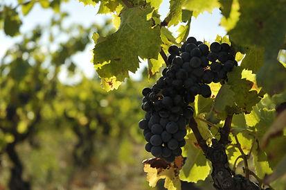 montner, mont-noir, vin, vignobles, schiste, roussillon