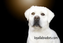 white.english.labradors.lab.labs.show.qu