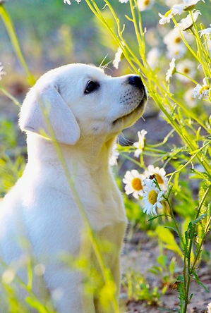 canadian.white.lab.puppies.for.sale.cana
