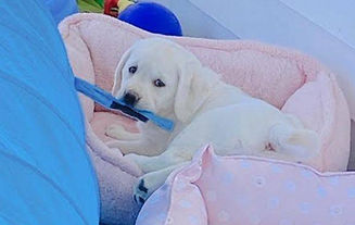 polar.bear.lab.puppy.asypen.wi.mi_edited