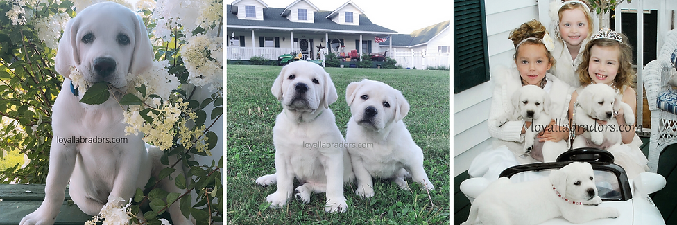 lab puppy for sale