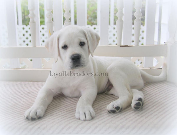 english.white.lab.puppy.puppies.mn.ca.fl