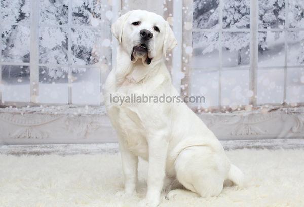 english.white.lab.puppy.snow.white.labs.