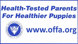 AKC_health_tested_english_Lab_Puppies_wh