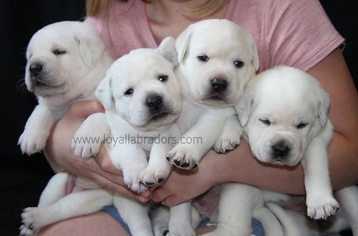 ace.puppies.white.labradors.labs.mn.ca.j