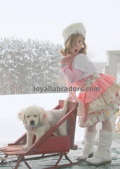 Loyal.Labradors.white.lab.puppy