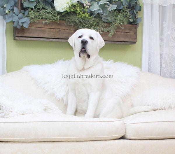 white.labs.english.labradors.puppies.jpg