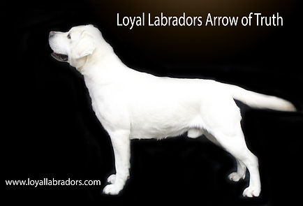 white.lab.stud.dog.arrow.english.conform