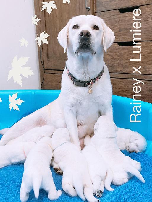 puppies.for.sale.lab.minnesota.iowa.il.w