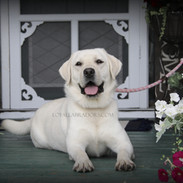 white Lab Daisy on the front porch