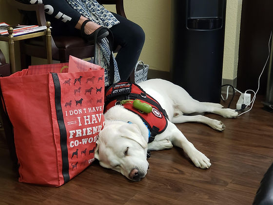 service.dog.lab.servicedog.white.labs.la