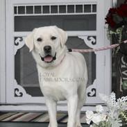 english AKC Labrador Daisy