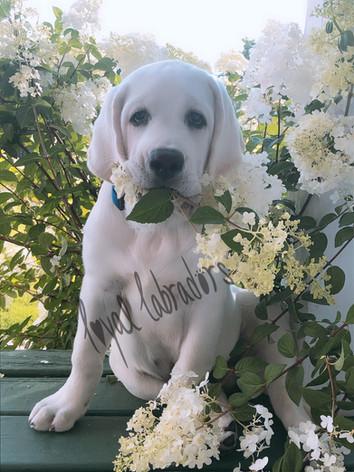 white Lab Puppy Lou