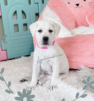 buy_white_lab_puppy
