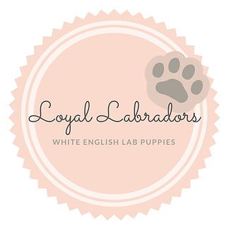 buy_white_lab_puppy_Minnesota_WI_MN_IL_M