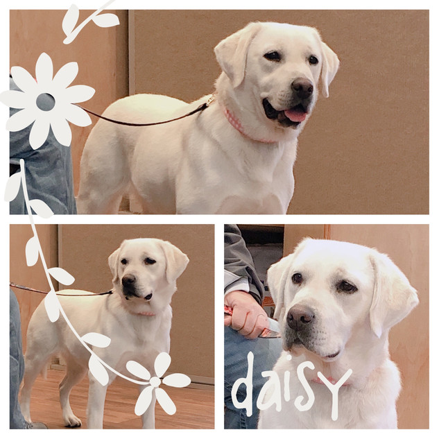 Our Lab Daisy