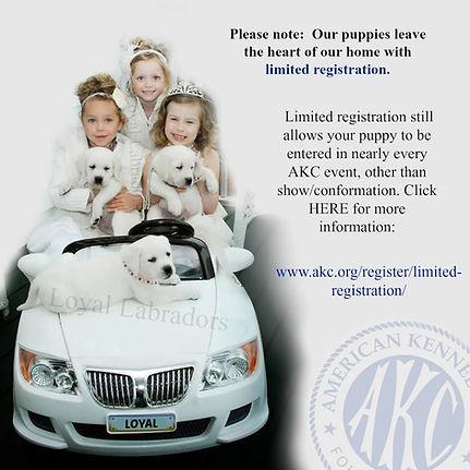 white_lab_puppy_for_sale.jpg