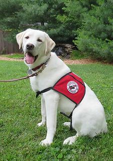 Labrador.retriever.service.dog.white.eng