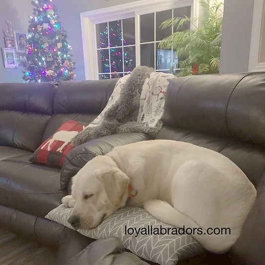 lab.puppy.for.sale.MN.IA