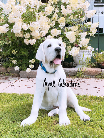 White English Labs for sale