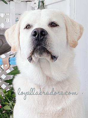 ivory.blond.white.labs.puppies.puppy.jpg