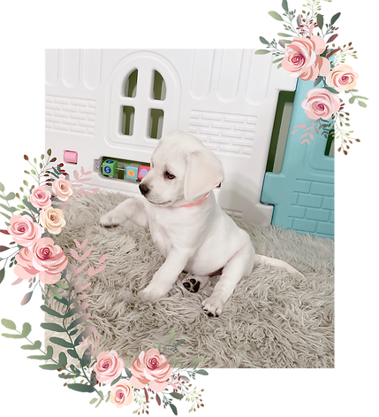 lab_puppy_for_sale_Minnesota_white_labs.png